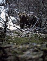 Сочинение описание по фотографии (картине) Гиппенрейтера Бурый медведь (описание)
